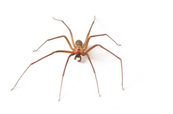 brown recluse spider on a white background