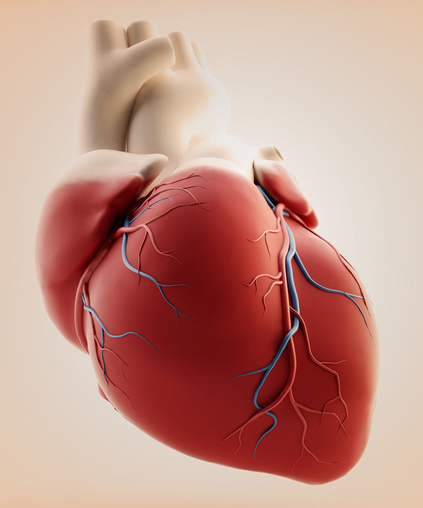 (CNIC) have identified how two proteins control the growth of the heart and its adaptation to high blood pressure